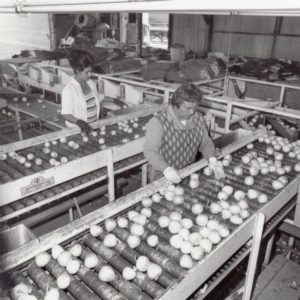 Two women, members of Amalgamated Meatcutters local P78 inspect onions, probably at a warehouse in California.