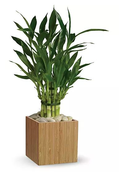 Bamboo in a small wooden vase